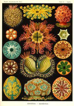 Ernst Haeckel, Kunstformen der Natur (1904), Tafel 85