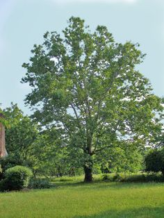 Sycamore tree - Native to NW Arkansas.  Learn  how they benefit our waterways: http://www.irwp.org/assets/conservation/riparian/TreeCorpsBrochure.pdf