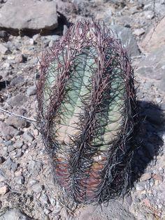 Echinocactus Horizontalonius | von Stenocactus