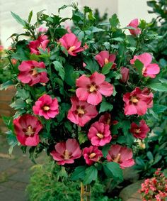 rose of sharon hedge grow a flowering privacy hedge this beautiful flowering hedge adds lateseason colour when other perennials in the garden su2026