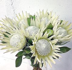 The King protea is the most popular variety, having one of the largest flower heads in the protea family. They are stunning in the garden, on the patio and in flower arrangements. Exotic Flowers, Large Flowers, Tropical Flowers, Amazing Flowers, White Flowers, Flor Protea, Protea Art, Protea Flower, Protea Wedding