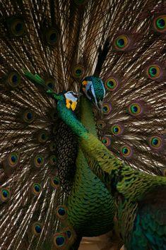 a pair of green java peacocks | bird photography #peafowl