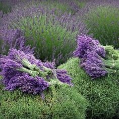 Lavender Officinalis Essential Oil Properties | Aromatherapy Guide | Essential Oils