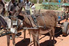 Deben Donkeys, Cart, Horses, Travel, Animals, Covered Wagon, Viajes, Animales, Animaux