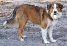 Beautiful English Shepherd Wingo Ranch Grailquest Sam. Love the sables.