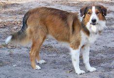 Beautiful English Shepherd Wingo Ranch Grailquest Sam. Love the sables.