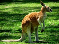 Image from http://animalstime.com/wp-content/uploads/2012/05/kangaroo-facts-for-kids.jpg.