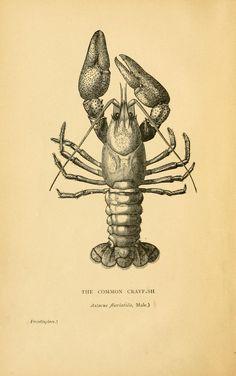 Book illustration, male Crayfish, 1895