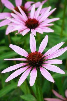 Purple Cornflower (Echinacea Purpurea)- strength and health