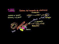 Ciclo de krebs o del ácido cítrico - YouTube
