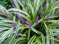 "ADAPTED: Liriope or Lily Turf -- a relatively short ""grass"" in the lily family which can be used as an ornamental ground cover in the shadier parts of the lawn. Garden Shrubs, Shade Garden, Lawn And Garden, Garden Plants, Variegated Liriope, Liriope Muscari, Outdoor Plants, Outdoor Gardens, Lily Turf"