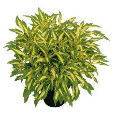Coleus Copinto® ´Mojito´ / Koleus / Okrasná žihľava, K7 Mojito, Herbs, Wine, Caipirinha, Herb, Medicinal Plants