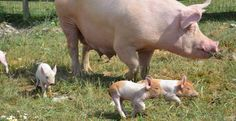 Even BIG pigs start out tiny!