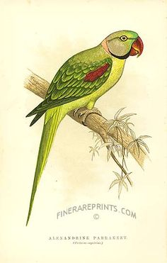 Antique print: picture of Alexandrine Parrakeet - Signed on the reverse by Gerald durrell, dated 1941