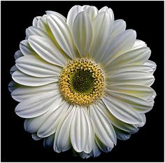 Gerber daisy #AST16 | Flickr - Photo Sharing!