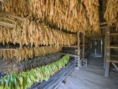Brings back fond teary memories of mi abuelo.Tobacco Leaves Hung Up to Dry, Vinales Valley, Cuba, West Indies, Caribbean, Central America Photographic Print by Christian Kober at AllPosters.com