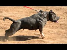 STRICKLY-BLUELINES-THRILLA-XXL-BLUE-PITBULL-WITH-LARGE-MUSCLES.jpg (480×360)