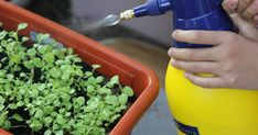 When growing vegetables in containers, you will get better results if you apply fertilizer regularly. Organic Compost, Organic Gardening, Gardening Tips, Growing Veggies, Growing Plants, Growing Flowers, Uses For Coffee Grounds, Baking Soda Uses, Garden Pests