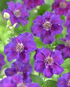 Clematis 'Ashva' • Plants & Flowers • 99Roots.com