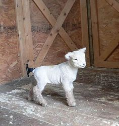 Goose Creek Babydolls - Baby Turtle.  Babydoll Southdown Sheep.  Another great website discussing the care of Babydoll Sheep is http://mylittlesheep.com/TheirCare.htm.