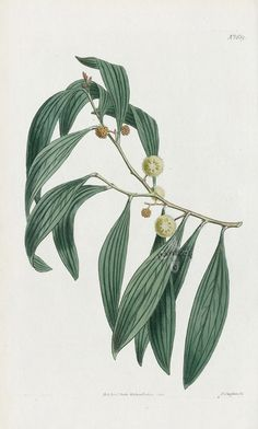 Acacia Melanoxylon from Historical botanical drawings of Australian plants