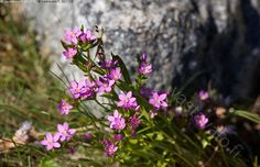 Saaristoluontoa - isosappi isorantasappi Centaurium littorale kasvit luonnonkasvit luonnonkukat vaaleanpunainen kasvi punainen luonnonkasvi luonnonkukka katkerokasvit Gentianaceae saaristoluonto luonto