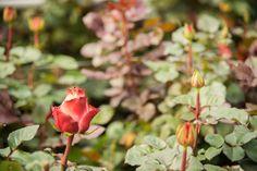 #Ecuador #Roses #Blooming #Cabaret Farm Pictures, Coral Garden, Cabaret, Ecuador, Farms, Bloom, Fruit, Plants, Homesteads