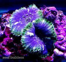 mini maxi anemone - Google Search