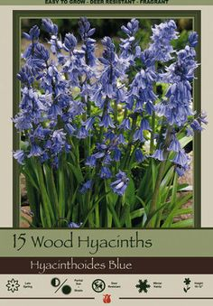 """Wood Hyacinth, Hyacinthoides hispanica 'Blue' from Netherland Bulb Company - Grass-like foliage supports 10-12"""" upright stems with clusters of mini bell shaped flowers. Wood Hyacinths are easy to grow in well-drained soil in partial shade or a woodland setting. Create a natural look by planting in small groups in a meadow or in masses. Allow leaves to die down naturally, and the flowers will come back year after year."""