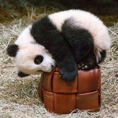 https://flic.kr/p/JTjXnG | Giant Panda Cubs | Toronto Zoo-15 | Canada's first…