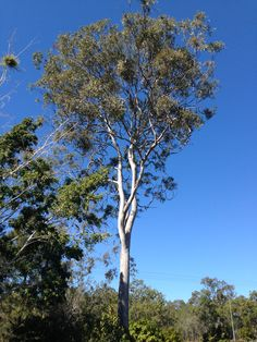 Our big beautiful gum tree