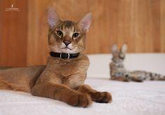Редкие породы кошек в мире