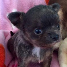 Chi Puppy 4 weeks