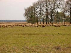 Kudde schapen op het Aekingerzand, gemeente Westerveld in zuidwestelijk Drenthe. Het is een gebied met zandverstuivingen dat deel uitmaakt van Nationaal Park het Drents-Friese Wold. In Nederland beslaan de gebieden met zandverstuivingen nog 1400 ha.