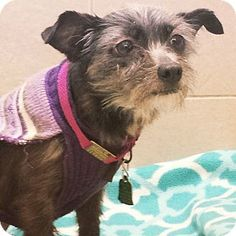 2/1/15 Philadelphia, PA - Terrier (Unknown Type, Small) Mix. Meet Betty, a dog for adoption. http://www.adoptapet.com/pet/12350215-philadelphia-pennsylvania-terrier-unknown-type-small-mix