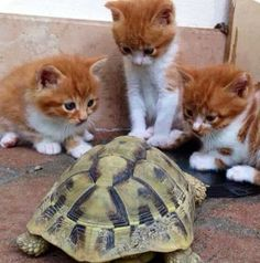 kittens and turtle..