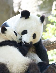 Panda cub Xiao Liwu and his mom (Bai Yun) at the San Diego Zoo.