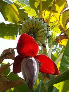 Fleurs de bananier Plus