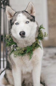 Wedding Dogs are the Best - a Handsome Husky wearing a Wreath | Jacque Lynn Photography and Michelle Leo Events | Enchanting Woodland Wedding Shoot with Rustic Winter Details