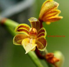 Cleisostoma birmanicum Schltr. Garay 1972
