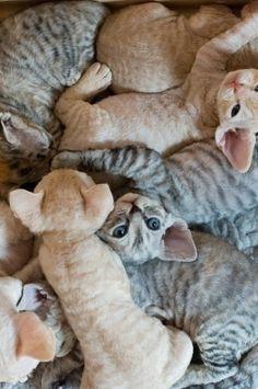 Cornish rex kittens! they have the strangest, softest fur!