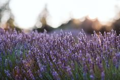Did you know has natural topical anesthetic attributes? This property is most dramatically noted in abrasions, cuts and insect (or even marine animal) bites or stings. The numbing effects are almost instantaneous and with no known associated French Lavender, Lavender Flowers, Lavender Bouquet, Lavender Essential Oil Uses, Essential Oils, Lavender Varieties, Lavender Benefits, Lavender Lemonade, Oil Water