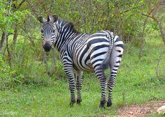 The Grant's zebra (Equus quagga boehmi)