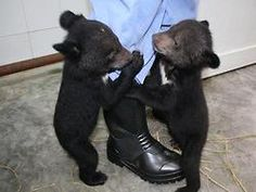 Baby moon bears at vietnam animal sanctuary! Oh My Word!! I'm gonna die! They're soooo cute. :)