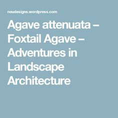Agave attenuata – Foxtail Agave – Adventures in Landscape Architecture Agave Attenuata, Landscaping Software, Landscape Architecture, Fencing, Gardening, Plants, Summer, House, Ideas