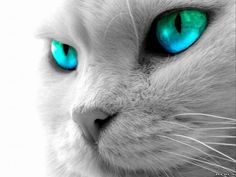 White Cat with Turquoise Eyes.is this for real. Wallpaper Gatos, Tier Wallpaper, Cat Wallpaper, Animal Wallpaper, Apple Wallpaper, Photo Wallpaper, Nature Wallpaper, Galaxy Wallpaper, Teal Eyes