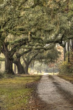 Southern Drive Live Oaks And Spanish Moss--this is what I want my driveway to look like!