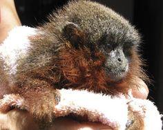 Newly discovered species - Caqueta titi monkey