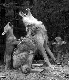 Yet again, someone thinks a coyote is a wolf... This bother me so much. It's not even hard to tell the difference, especially with a howling coyote. Rant over😌