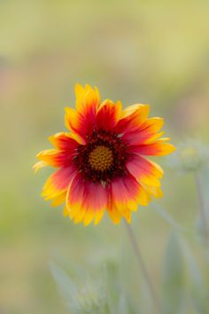 Photo Sun flower by Noy Saylakham on 500px Indian Blanket flower...